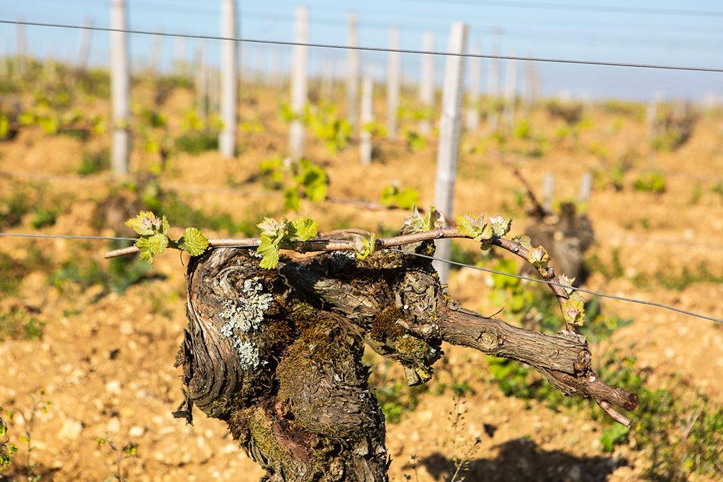 Pinot Noir Vines in Sancerre